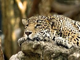 sleepyleopard