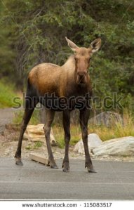 stock-photo-moose-115083517